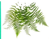Real Pressed Fern Fronds Large - Perfect for Weddings, Events, Decorations, Art & Craft Projects, Holidays, Cards, ScrapBooking