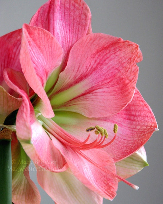 Pink Flower Photography 'Vera' Amaryllis pastel pink floral decor botanical fine art photo nature photograph soft pink gray 5x7 8x10 11x14