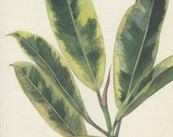 Fig Tree, Rubber Plant, Vintage Botanical Print, Ficus, Indoor Plant 69 Flower Art, Illustration 1968, Country Cottage Decor