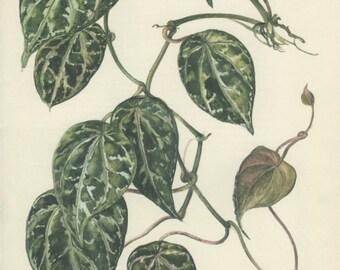 Pepper, 8 x 10, Vintage Botanical Print, Home Decor, Indoor Plant 103, Flower Art, Illustration 1968, Kaplicka