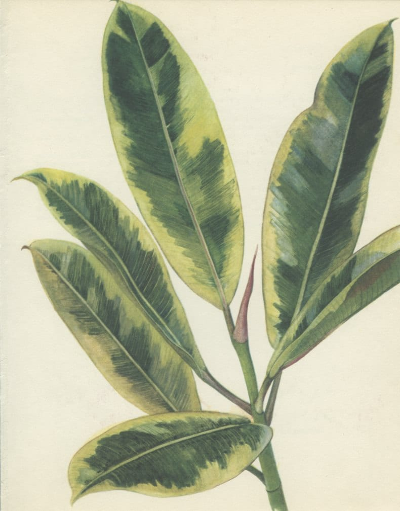 fig tree rubber plant vintage botanical by marcadevintageprints