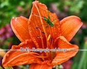 Grasshopper Lily Flower photograph