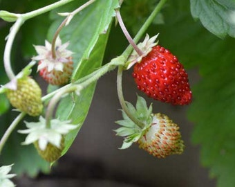 Alpine Strawberry Seeds - Non-GMO, Untreated