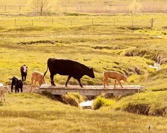 Farm Photography, Cattle in Color