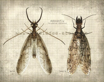Dobsonfly Entomology Print - Vintage Style Original Photo Illustration - Nature Specimen Texture Aged Science Insect Wall Art Book Plate