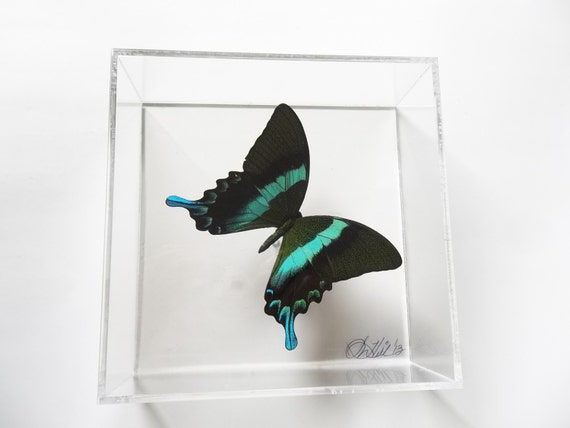 Blue Tips 7x7 butterfly