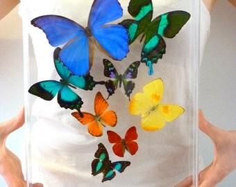Flight of 8 Real Butterflies - 10x13 Acrylic Frame