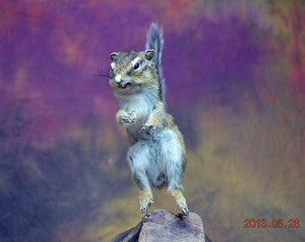 Real Taxidermy Of Chipmunk Free Shipping To Every where,Birthday Christmas Gift