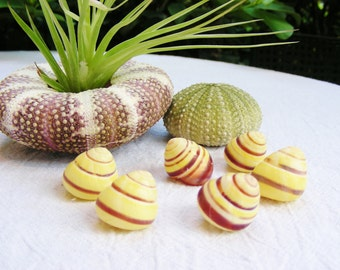 YEllow Land Snail Banded Stripes 5/8 to 7/8 inches (2 pieces) ~ Makes a great Hermit Crab shell