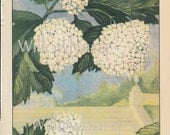 Snowball. 1926 country cottage garden old fashioned botanical color lithograph print