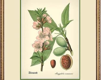 ALMOND 5x7 botanical print reproduction 2550