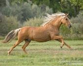 Palomino Paso Flies Like the Wind - Fine Art Horse Photograph - Horse - Peruvian Paso
