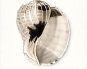 Coastal Decor Sea Shell Print No. 2 - Chestnut Turban Nautical Sea Shell Giclee Art Print 8x10