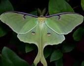Real Luna Moth Hair Clip