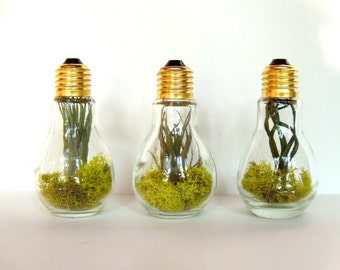 Air Plant Light Bulb Terrarium - 3 Air Plants in 3 Light Bulb Terrariums