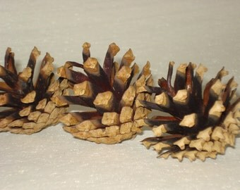Pine Cones Pinecones Natural Lot of 40, Craft Supplies, Home Decor, Wedding favors, Floral Supply, Children Kids Craft, DIY gift ideas