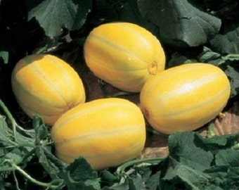 5 Early Silverline Watermelon Seeds-1159