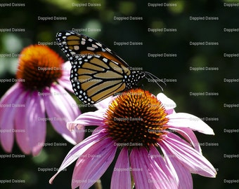 """Photograph """"The Monarch and the Cone Flower"""""""