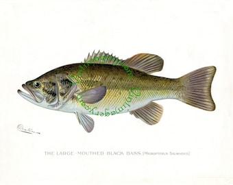 Vintage fish print digital download: Large Mouthed Black Bass by S. F. Denton, 1903