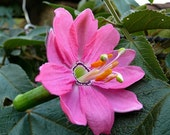 Passiflora mollissima, 30 seeds, Banana Passion Fruit, pink blooms, delicious fruit, cold hardy passion flower, container plant,