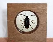 Mahogany desk, bookshelf or windowsill square.  Filled with a large Eastern Pine Sawyer beetle.