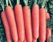 Scarlet Nantes Heirloom Carrot Seeds Non-GMO Naturally Grown Open Pollinated Gardening