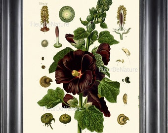 BOTANICAL PRINT Kohler 8x10 Botanical Art Print 21 Beautiful Hollyhock Plant Wildflower Country Nature Plant to Frame Interior Design