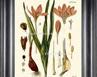 BOTANICAL PRINT Kohler 8x10 Botanical Art Print 54 Beautiful Pink Crocus Meadow Saffron Garden Nature Plant to Frame