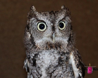 Einstein (Eastern Screech Owl) I (FREE Shipping in the U.S.only)--customized card, print or canvas