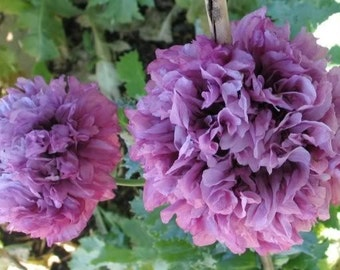 Poppy Seeds Purple Peony, Large Flower Blooms for Your Garden, 25 Seeds