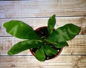 Baby staghorn FERN dutch LIVE plant for terrarium vivarium shade garden