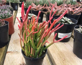 Medium Succulent Plant.Firesticks. Brilliant, fiery red coloring is a beautiful addition to your drought tolerant garden.