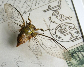 Clear Winged Cicada On Vintage Post Card Real Framed In Display