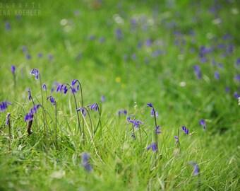 BLUEBELLS photography print,  Scotland woodland flower, 8x12