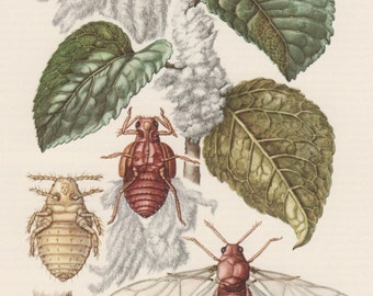 1956 Insects Print, Homoptera Vintage Lithograph, Entomology, Aphids, Eriosoma, Greenflies, Blackflies, Whiteflies, Plant Lice, Garden Pests