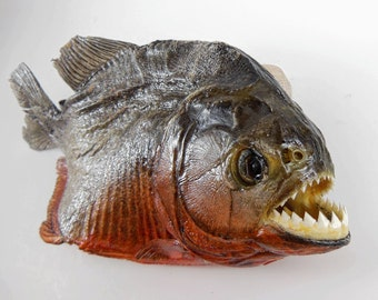 items similar to buy piranha red belly piranha display