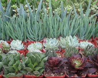 100 Wedding Succulent Collection Plants