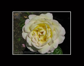 Pale Yellow Rose Delicate Flower Photography Print at Rodin Museum in Paris, Home Décor, Wall Art