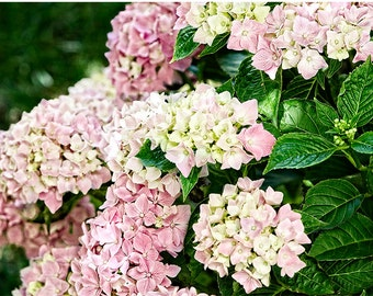 Hydrangea pink blush and cream cluster, fine art flower photography nature photograph, wall art, home decor