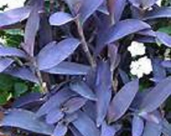 Colorful Purple Heart Groundcover Starter Plant