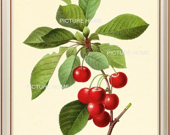 Red Cherry Botanical Print 24 Beautiful 8X10 Antique Redoute Art Room Decoration Wall Art to Frame Garden Fruit Tree