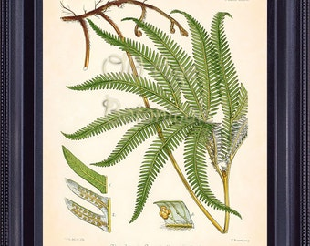 Fern Print FITCH 8x10 Botanical Vintage Inspired Antique Art Plate Illustration GLEICHENIA Green Leaves Seeds Roots Plant Room Decor FC0401