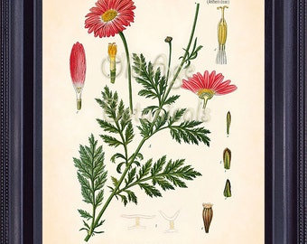 KOHLER 8x10 Botanical Print Vintage Antique Art Plate Chart Red Bright Pink Chrysanthemum Flowers Room Wall Decoration for Framing BF0708