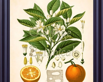 KOHLER Botanical Print 11x14 Vintage Art Print Plate Chart Citrus Vulgaris Sweet Orange Fruit Tree Kitchen Home Decor Illustration LP0714