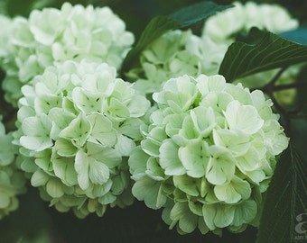 Green Hydrangeas, Nature Photography, Flower Photography, Wall Art, Photo Print