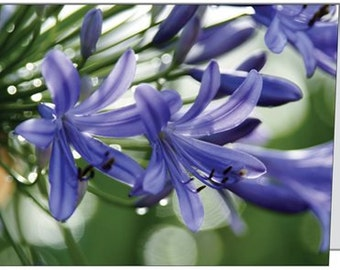 Purple Lily of the Nile