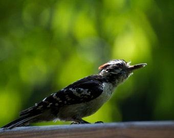 Downey Woodpecker 12x18print