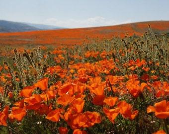 800 *HEIRLOOM* Orange California Poppy Seeds
