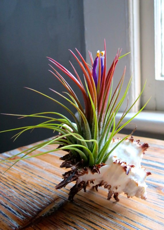 Ionantha air plant container long spine by for Plants that live long
