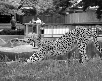 Black and White Cheetah Cat Stretching at the Milwaukee County Zoo Fine Art Photo Print Home Wall Decor by Rose Clearfield on Etsy
